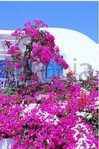 Rosa Blüten Baum : baum rosa bl ten gefunden auf mykonos griechenland bougainvillea glabra cultiva ~ Yasmunasinghe.com Haus und Dekorationen