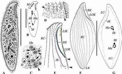 Protargol Subsp Striatus Orientalis Vivo Impregnation Publication