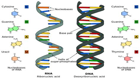 Difference Dna And Rna  7 Rna Quiz  Biological Science Picture Directory Pulpbitsnet
