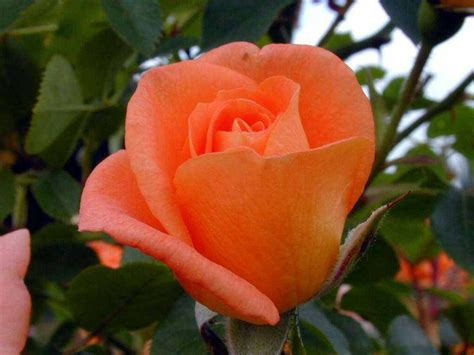 Beautiful Orange Roses Wallpapers by Orange Pictures For Wallpaper Orange Color