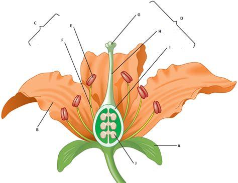 Diagram Of Flower Part by Diagram Quiz On Flower Parts Interactive Quiz