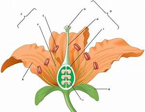 Diagram Quiz On Flower Parts  Interactive Online Quiz