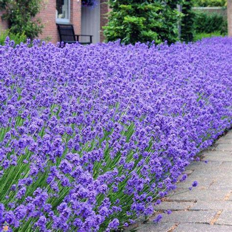 lavander plant munstead lavender the planting tree