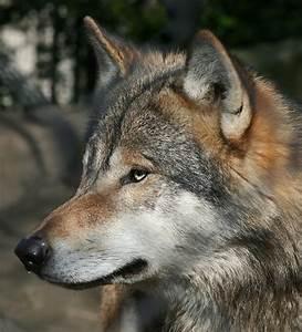 Sniffing Wolf by thrumyeye on DeviantArt