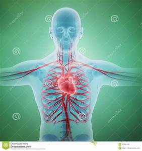 Human Circulatory System Royalty Free Stock Images