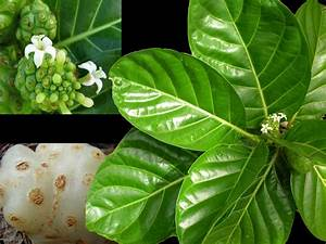 Medicinal Plants: Morinda citrifolia, Noni, Maddi, Munja pavattay Morinda
