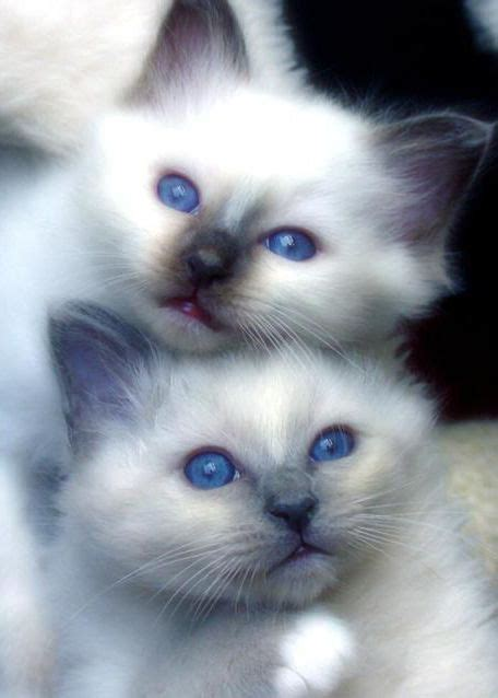 siamese cats meow much why adorable
