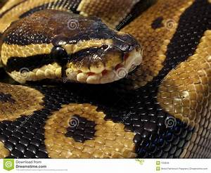 Ball Python Close Up Royalty Free Stock Images - Image: 100849