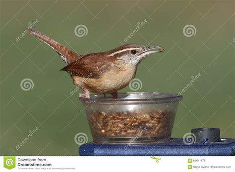 carolina wren on bird feeder stock photo cartoondealer