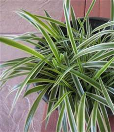 are spider plants poisonous to cats are spider plants poisonous to cats facts to