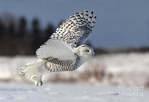 White Angel - Snowy Owl In Flight by Mircea Costina ...
