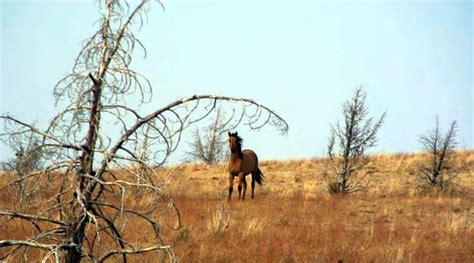 nz horsetalk horses wild mustang animals keystone species