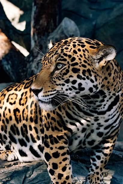 Jaguar Animal Adopt Farm Snake Awsfzoo
