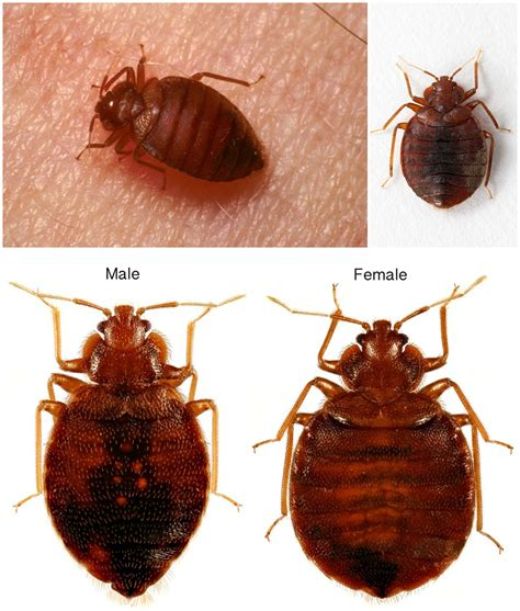 Bed Bugs by The Bed Bug Lifecycle Diagram Guide And Pictures