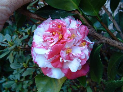what to plant with camellias camellia care culture notes camellia glen nursery