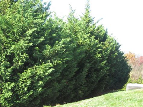 leyland cypress groshs lawn service leyland cypress tree pruning in hagerstown md and williamsport md