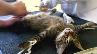 what to before getting a cat myths about neutering bahrain stray cats