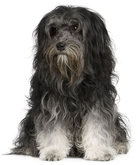 The löwchen is breed of dog that once had the dubious distinction, like the portuguese water dog and the havanese, of being the rarest dog in the world. Löwchen - Page 1