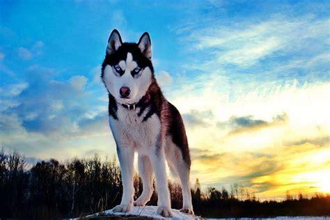 online buy wholesale siberian husky poster from china siberian husky poster wholesalers