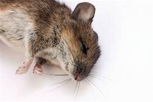 Comment Tuer Un Rat : comment tuer les rats javel sel bicarbonate de soude ~ Mglfilm.com Idées de Décoration