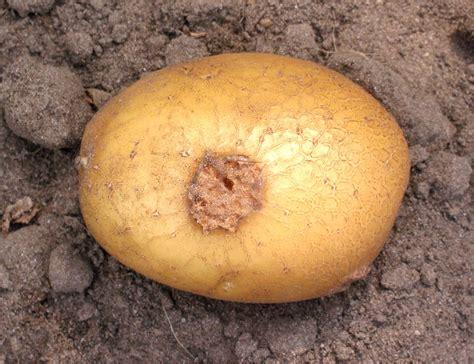 maladies de la pomme de terre