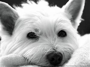 West Highland White Terrier Wallpapers HD Download