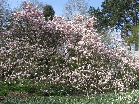 magnolia shrub varieties dwarf magnolia varieties bing images