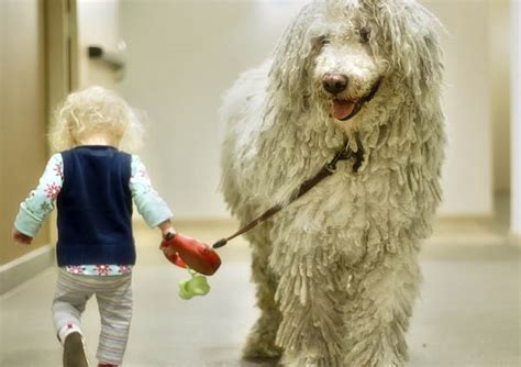 komondor luv  dogs