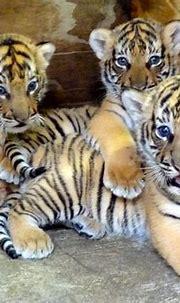 Endangered Tiger Cub Trio Born at Busch Gardens Tampa ...