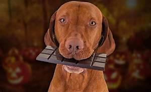 atencion dog lovers el chocolate es el peor enemigo de los perros en navidad