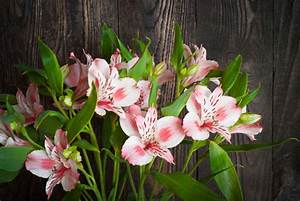 Alstroemeria Flower Meaning