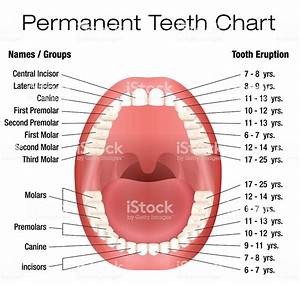 Teeth Names Permanent Adult Dentition Notation Stock