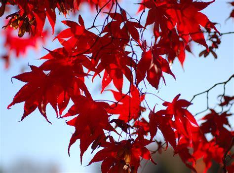 maple leaves japan fayl japanese maple acer palmatum backlit 2700px jpg vikipediya