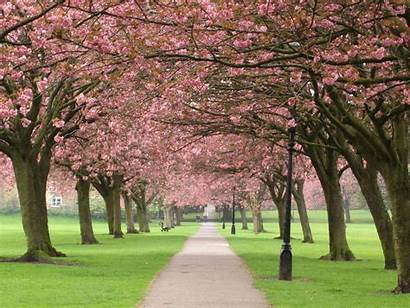 Tree Cherry Wallpapers Backgrounds Paos Tag