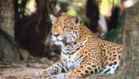 amazon jaguar habitat animals momme