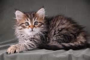 Brown Mackerel Tabby Siberian Cat