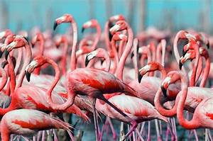 Pretty in pink: Stunning images capture flamboyant ...