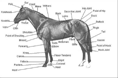 external equine anatomy   equine