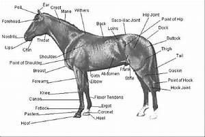 External Equine Anatomy