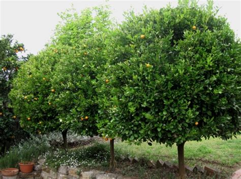 great small trees cumquats make great small evergreen trees plus fruit for marmalade plants planting