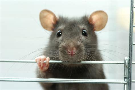 pet rat cages  reviews buying guide pet