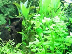 Pflanzen Im Aquarium : warum sind algen im aquarium wie werde ich sie los ~ Michelbontemps.com Haus und Dekorationen