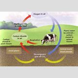 Oxygen And Carbon Dioxide Cycle Simple | 647 x 454 png 602kB