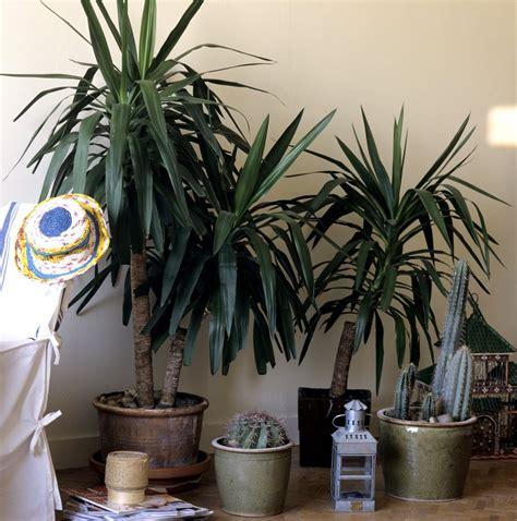 yucca plante interieur ou exterieur yucca planter et tailler ooreka