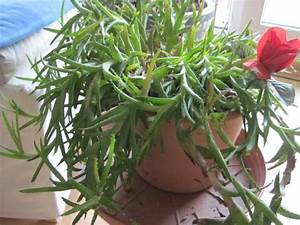 Sukkulenten Arten Bilder : sukkulente bestimmen pflanzenbestimmung pflanzensuche ~ Lizthompson.info Haus und Dekorationen