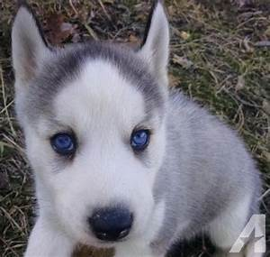AKC Siberian Husky Male Puppy Grey & White Blue Eyes Ready ...