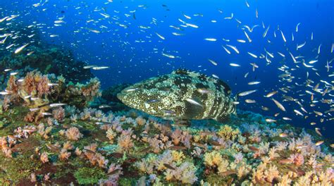 french polynesia grouper marbled