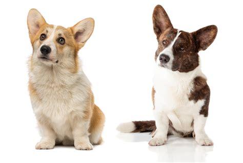 11 Short Facts About Corgis