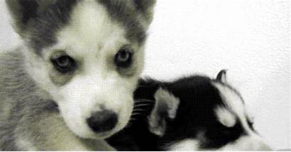 Husky Come Huskies Puppies Adorable Them Let