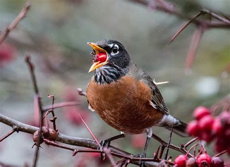 american robin eating fruit flickr photo sharing